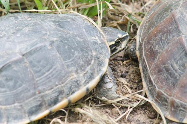 This is an adult gopher tortoise in an oak scrub environment