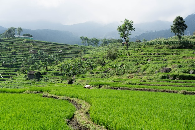 Это культовая рисовая терраса тегалаланг.