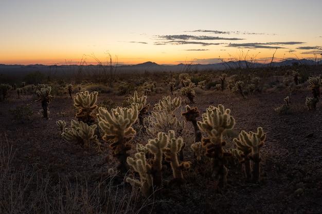 これは、米国アリゾナ州サワロ国立公園での日没時のチョヤッジャンプの写真です。