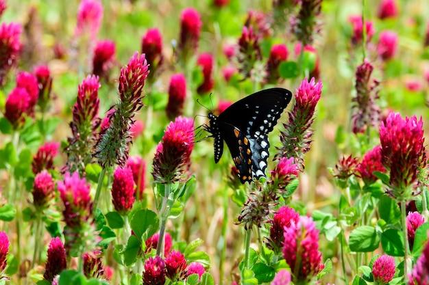이 고독한 동부 검은 제비 나비가 진홍색 클로버의 들판을 발견했습니다.