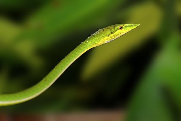 이 예쁜 녹색 뱀은 스리랑카에서 찍은
