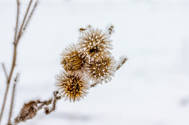 Thistle branch with seeds covered with frost in winter_