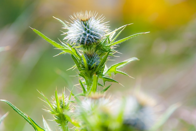 Thistle burrs in the sun with fresh growth