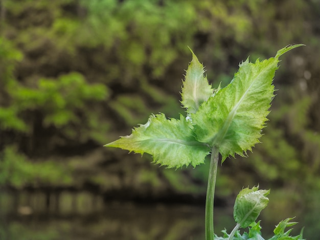 Thistle, cãrsium olerã¡ceum. medicinal plants and herbs. unusual leaves with serrated edges