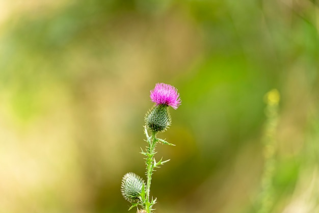 Thistle flower as symbol of scotland