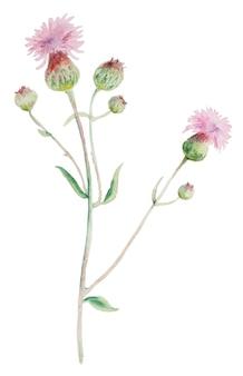 엉겅퀴 꽃 손에 그려진 된 수채화 흰색 배경에 고립. 식물 허브 야생화 손으로 그린.