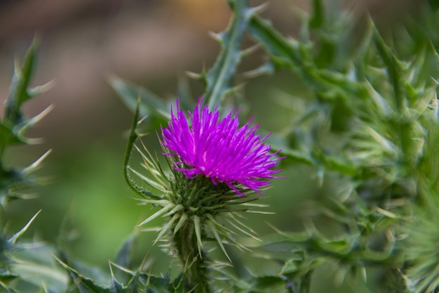 Thistle flower that grows in the argentine mountains
