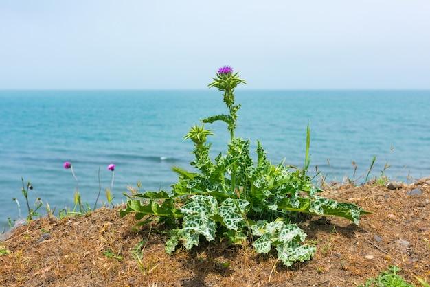 해안 스트립에 엉겅퀴 꽃
