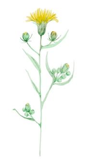 手描きの水彩画で分離された白い背景でアザミ黄色の花。手描きの植物ハーブワイルドフラワー。
