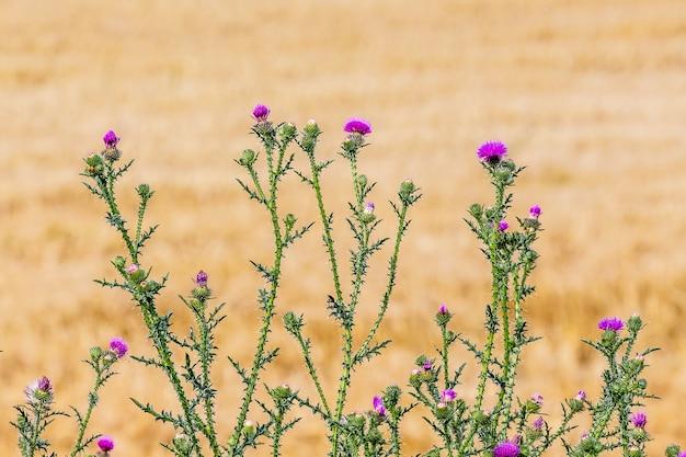 밀밭의 흐릿한 배경에 엉겅퀴 프리미엄 사진