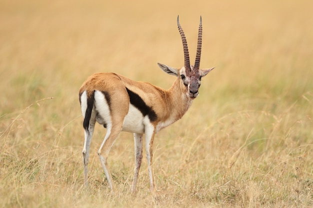 Thompson's gazelle in the middle of a field covered with grass