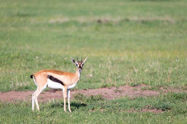 케냐 사바나의 잔디 풍경 한가운데있는 톰슨 가젤
