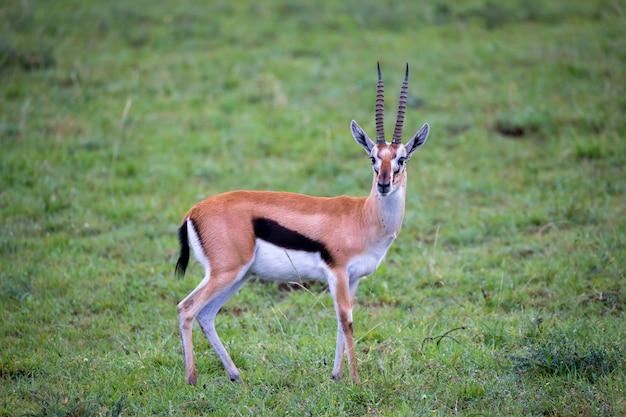 Газель томсона в траве саванны в кении