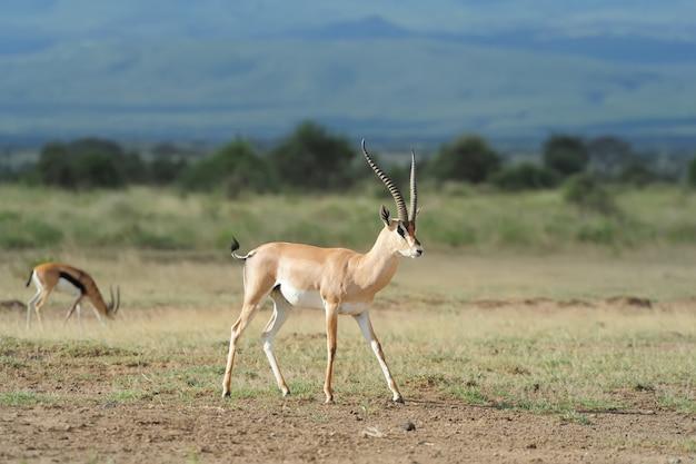 Газель томсона в саванне в национальном парке. кения, африка