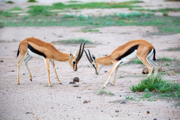 Thomsons gazelle fighting in the savannah in the national park