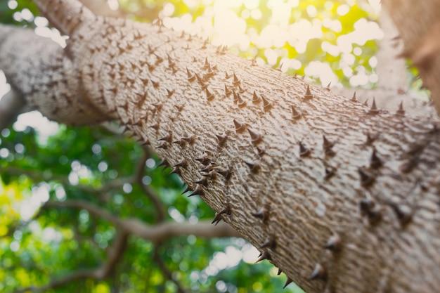 Thorn tree of bombax ceiba closeup sharp thorn at tree bask in nature plant