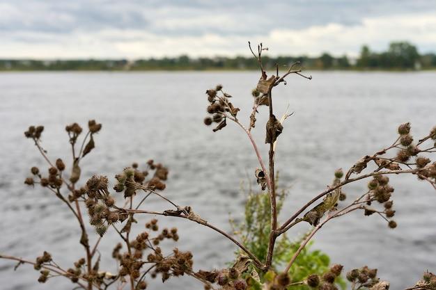 호수 배경에 우엉의 가시 덤불. 우엉이 있는 풍경