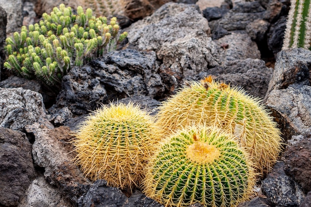 Thorny cactuses between rocks