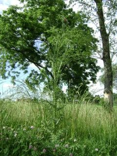 Thorny thistle plant