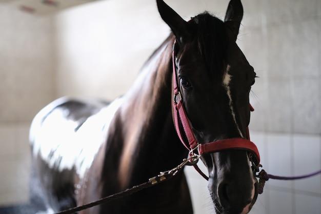 馬小屋に立っている手綱にサラブレッドの馬