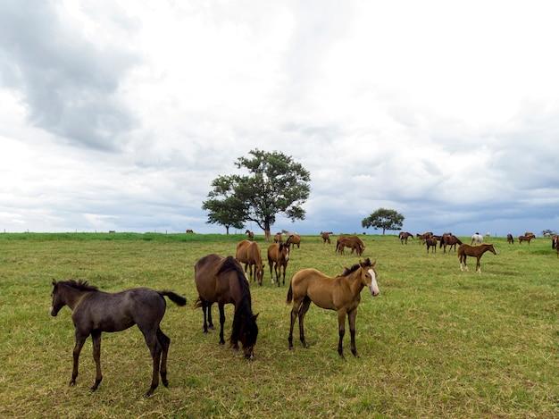 曇りの日に野原で放牧しているサラブレッド種の馬。
