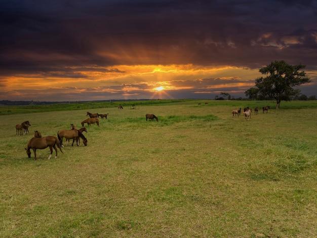 日没時に野原で放牧しているサラブレッド種の馬。