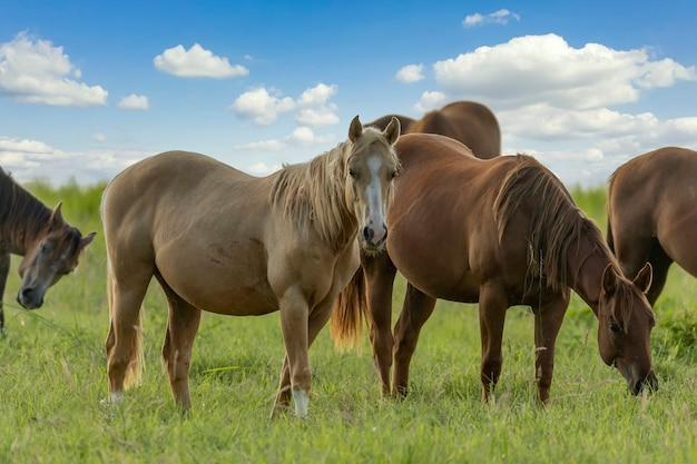 野原で放牧しているサラブレッド種の馬。