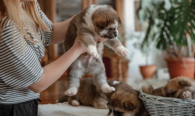 ぼやけた背景の上の愛人の手にサラブレッドの小さなふわふわの子犬