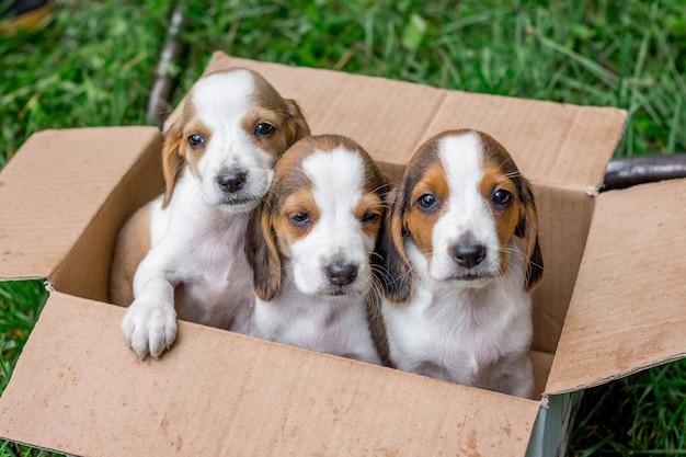Щенки чистокровной породы - это эстонские гончие в картонной коробке. продажа молодых собак