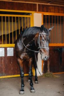 Крупный план чистокровного жеребца в конюшне на ранчо. животноводство и разведение породистых лошадей.