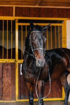 牧場の厩舎でのサラブレッドスタリオンのクローズアップ。サラブレッド種の畜産と繁殖。