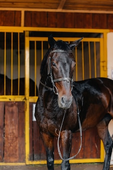 Thoroughbred stallion close-up in the stable at the ranch. animal husbandry and breeding of thoroughbred horses.