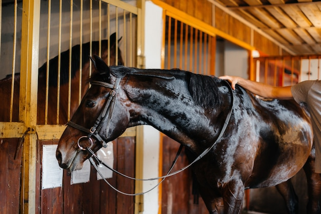 Thoroughbred stallion close-up in the stable at the ranch.