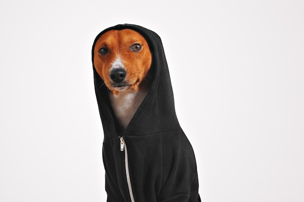 Thoughtful and frightened looking brown and white dog in black cotton hoodie with hood up