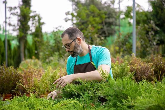 常緑植物を見ている思いやりのある中年の庭師。青いシャツとエプロンを身に着けている眼鏡の白髪の男は、温室で小さなクロベを育てています。商業園芸と夏のコンセプト