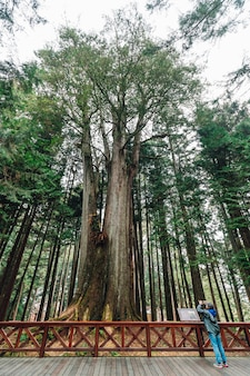 Thousand year cypress with tourist taking a photo in alishan.