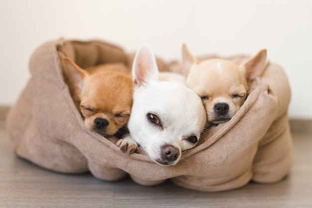 Three adorable chihuahua puppies lying in little doghouse on floor.