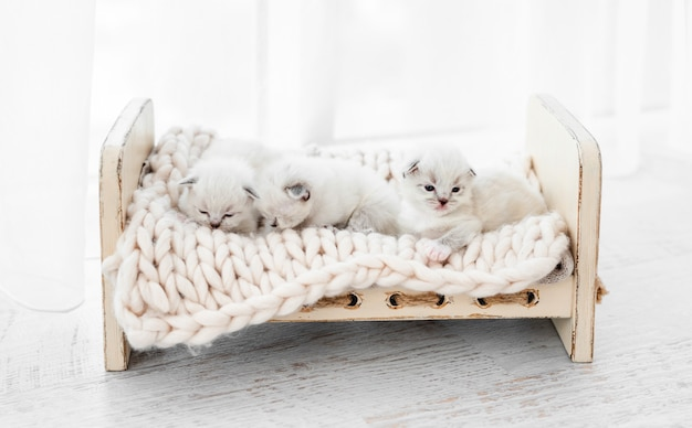 세 마리의 사랑스러운 작은 래그돌 고양이가 디자인된 작은 침대에 니트 담요를 깔고 카피스페이스가 있는 흰색 배경에 격리되어 함께 자고 있습니다. 낮잠을자는 귀여운 작은 순종 고양이