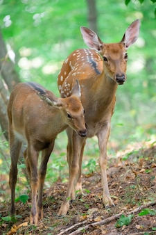 Three alert deer on a slope in the woods. male female and little deer.