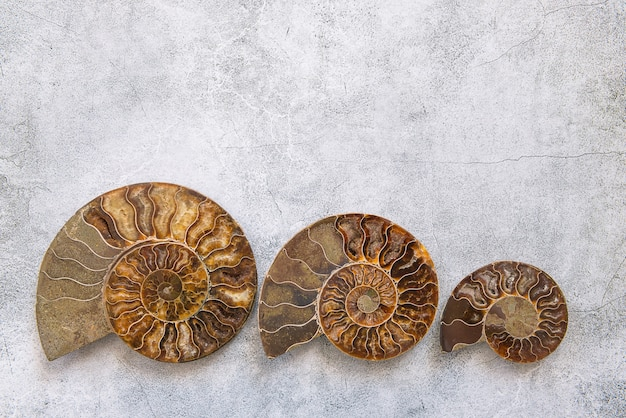 Three ammonite different size, fossilized shell on gray background.