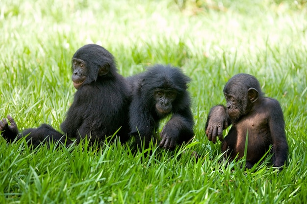 Three baby bonobos are playing with each other. democratic republic of congo. lola ya bonobo national park