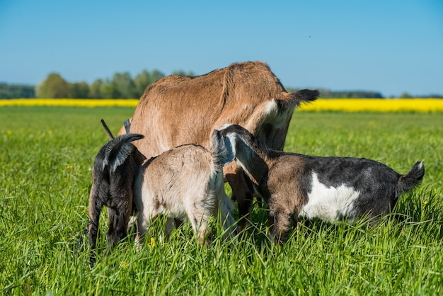 녹색 잔디에 서있는 어머니와 함께 세 아기 염소