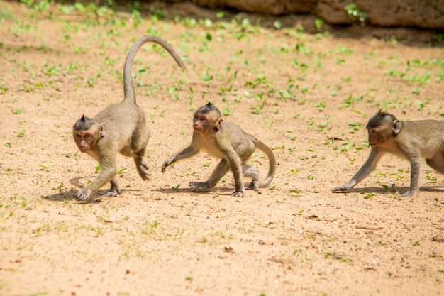Three baby macaque monkeys playing and chasing each other on a patch of soil.
