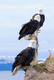 Three bald eagles perched on a snag