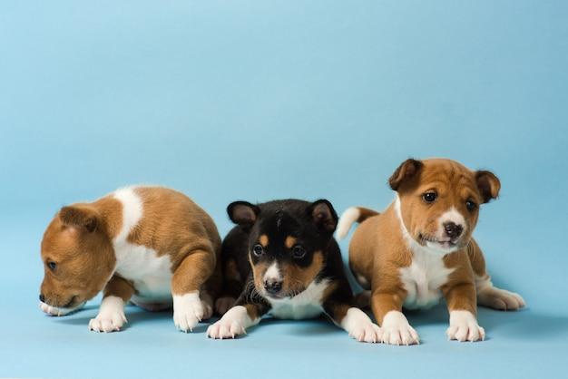 3 개의 basenji 강아지가 줄을 서서