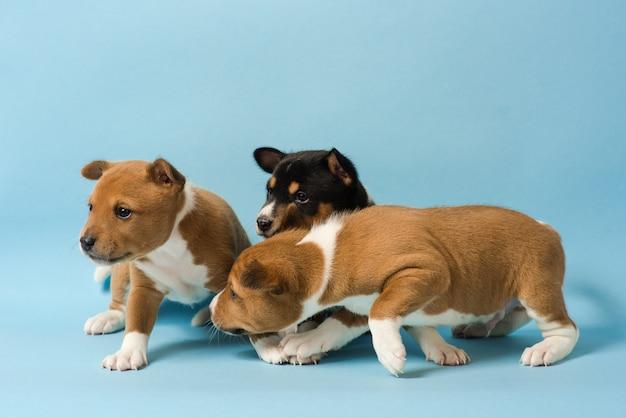 세 basenji 강아지 재생