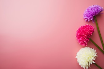 Three beautiful colorful flowers on pink background