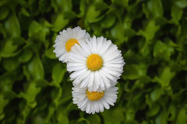公園の3つの美しいデイジーの花カモミール
