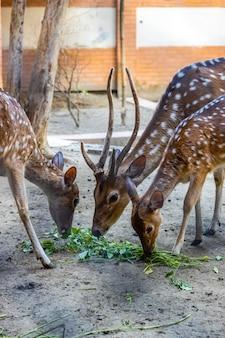 Три красивых оленя едят траву в парке