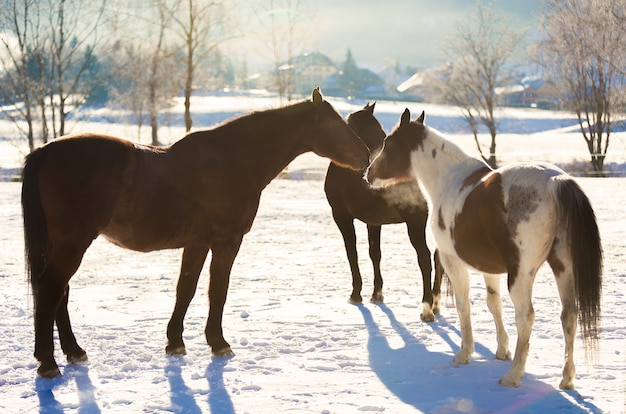 Three beautiful horses at outdoor paddock covered by snow
